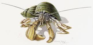 Halloween Hermit Crab Lifespan by Adw Pagurus Bernhardus Information