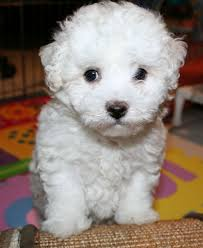 Do Bichon Pomeranians Shed by 7 Breeds Of Dogs That Are Best For People With Allergies U2026