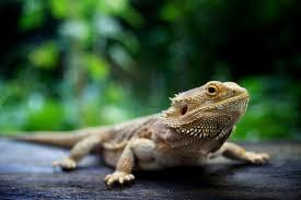 Bearded Dragon Heat Lamp Timer by Bearded Dragon Pet Bearded Dragons Pet Lizards