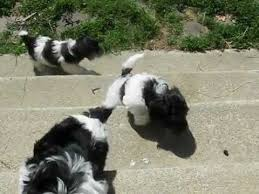 No Shed Small Dogs by Havanese Puppies Puppies For Sale Non Shedding Dog Small Dog
