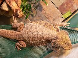strange symptoms and behavior bearded dragon org