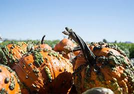 Tucson Pumpkin Patch by Pick Your Own Pumpkins At Apple Annie U0027s In Wilcox Arizona