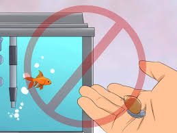 How To Cure Flukes In Goldfish With Pictures