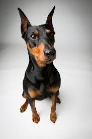 Do Miniature Pinschers Shed by 88 Best German Pinscher U0027s Images On Pinterest Dog Breeds