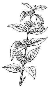 Coffee Tree Drawing At GetDrawings