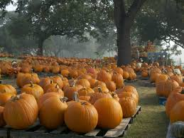 Oklahoma Pumpkin Patches by Pumpkin Patches Abound In San Antonio And Around