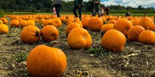 Pumpkin Patch Sf by The Best Pumpkin Patches And Corn Mazes In The Bay Area