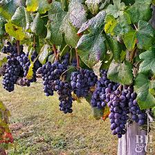 Types Of Pumpkins Grown In Uganda by How To Grow Grapes