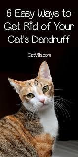 my cat has dandruff 6 easy ways to get rid of dandruff on your cat catvills