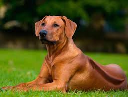 Chesapeake Bay Retriever Shed Hunting by The Best Types Of Hunting Dog Breeds Brave Hunters