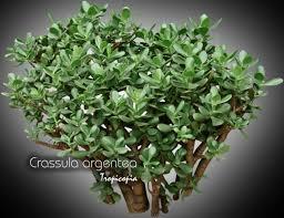 entretien plante grasse d interieur tropicopia en ligne plante d intérieur conseils soins sur l