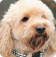 Do Wheaten Terriers Shed by 16 Wheaten Terriers Do They Shed Dogs Similar To Wheaten