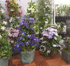 planting wisteria in a pot 24 best vines for containers climbing plants for pots balcony
