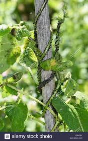 Christmas Tree Aphids by Black Aphids On Plant Stock Photos U0026 Black Aphids On Plant Stock