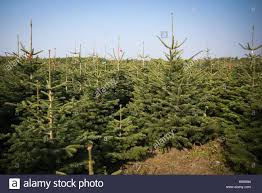 Nordmann Fir Christmas Tree by Ready To Harvest Is A Field Of The Nobilis Firs Abies Nobilis