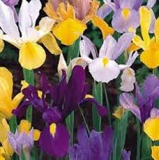 iris bulbs mixed colours early flowering packs