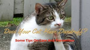 my cat has dandruff why does my cat dandruff treatment and cure cat overdose