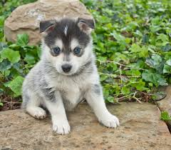 Dogs That Shed Very Little by Pomsky