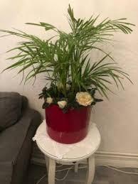zimmerpflanze mit blumentopf in rot groß