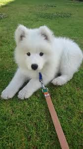 Do Samoyeds Shed All The Time by I Love This Little Guy So Much Already Meet Nimbus My 10 Week Old