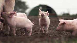 Life As An RSPCA Assured Pig Farmer - YouTube Pin By Pat Wozniak On Pork Pinterest Business Planning Afc Pig Farm Ecomavrovic How To Raise Pastured Pigs Without Buying Feed Httpwww Tammi Jonas Food Ethics Farming Plan Sample Dsc Raising Pros Cons The Prairie Homestead Figueroa Breeding Gguinto Bulacan Youtube Gloucestershire Old Spot Pigs And That Farm There Was To Make Your Own Pig Feed The Organic Farmer Heaven What Makes Free Range Different Downtoearth 54 Best Images Farming Backyard In Nigeria Detail Post Practical Traing Its Time Front Yard Farmer