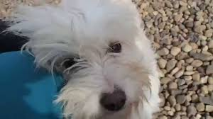 Small White Non Shedding Dog Breeds by Rare Breed Fully Hair Pure White Color Pet Dog Youtube