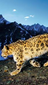 Snow leopard iPhone Wallpaper iPhone Background Wallpapers HD