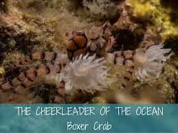 Decorator Crabs And Sea Sponges by The Cheerleader Of The Ocean Boxer Crab More Fun Diving