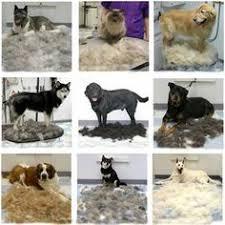 furminator dog deshedding tool review and instructional video