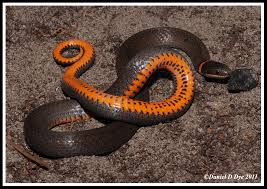 Southern Ringneck Snake | Florida Backyard Snakes Backyard Snakes Effective Wildlife Solutions Snakes And Beyond 65 Best Know Them Images On Pinterest Georgia Of Louisiana Department Fisheries Southern Hognose Snake Florida Texas Archives What Is That 46 The States Slithery Species Nolacom Scarlet Kingsnake Cottonmouth Eastern Living Alongside Idenfication Challenge The Garden Or Garter My Species List New Engdatlantic