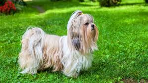250 Fantastic Shih Tzu Names My Dog s Name