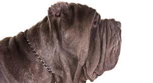 Cane Corso Mastiff Shedding by Neapolitan Mastiff Dog Breed Information American Kennel Club