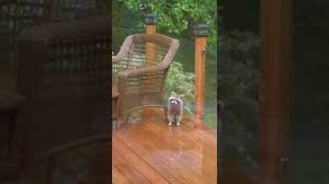 Little Raccoon On My Deck On A Rainy Day - YouTube How To Keep Wild Raccoons The National Wildlife Federation Blog Ecology Management Our Little Raccoon Luna Pinteres Health Inspectors Notebook Urban Wildlife Pet Diases That Great Raccoon In My Backyard Architecturenice Makeover Final Reveal Emily Henderson Animal Droppings Ask An Expert Beasts Login Critter Scat Pool Party Youtube Little On Deck A Rainy Day What Kind Of Are These I Want Protect My Rooster And