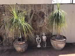 golden palm in pots 1 large golden palm in black pot plants gumtree australia
