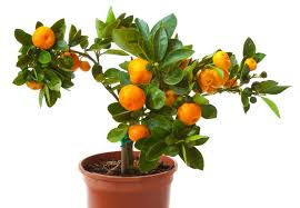 how to plant indoor citrus trees in pots