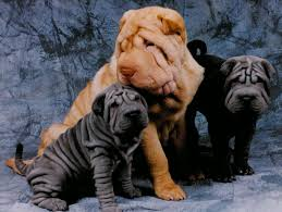 Do Shar Peis Shed A Lot sharpei u0027s are the best dogs in the whole wide world just look at