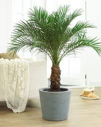 golden palm in pots best 25 indoor palm trees ideas on palm plants palm