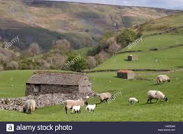 Stone Barns & Swaledale Sheep Grazing Nr Keld, Yorkshire Dales ... Britespan Building Systems Inc Fabric Buildings The Barn At Gibbet Hill Traditional Corsican Sheep Barns With Pool 10 Km From Porto Spherds Way Farms Build The Barns Grow Flock By Steven Acvities For Children High Park Shed Books Plan Choice Sheep Barn Plans Designs And Farm Structures Waterford Vermont Maremma Sheepdog Herding Finndorset Stone Center Youtube Horizon Prefab Shedrow Can Easily Be Adapted
