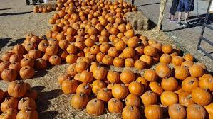 Pumpkin Patches Near Colorado Springs Co by Pumpkin Patches In And Around Denver 2017 The Denver Ear