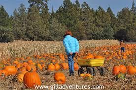 Sauvies Island Pumpkin Patch Corn Maze by Oregon Corn Mazes And Pumpkin Patches Teampendley
