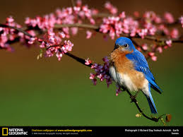Bluebird Picture, Bluebird Desktop Wallpaper, Free Wallpapers ... National Geographic Backyard Guide To The Birds Of North America Field Manakins Photo Gallery Pictures More From Insects And Spiders Twoinone Bird Feeder Store Birds Society Michigan Mel Baughman Blue Jay Picture Desktop Wallpaper Free Wallpapers Pocket The Backyard Naturalist 2017 Cave Wall Calendar