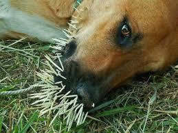 Porcupine Eats Pumpkin by Peaceful Quill Pigs U2013 Creature Sphere