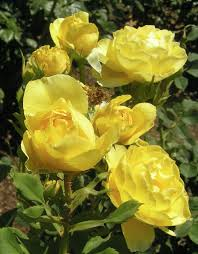 21 best Fresno State Rose Garden and More images on Pinterest