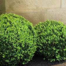 English Box Topiary Ball