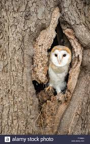 Young Barn Owl Sitting In A Tree Hollow Stock Photo, Royalty Free ... Barn Owl Perching On A Tree Stump Facing Forward Stock Photo The Owls Of Australia Australian Geographic Audubon Field Guide Beautiful Perched 275234486 Barred Owl Vs Barn Hollybeth Organics Luxury Skin Care Why You Want Buddies Coast News Group Sleeping By Day Picture And Sitting Venezuela 77669470 Shutterstock Rescue Building Awareness Providing Escapes And Photography Owls Owlets At Charlecote Park Barnaby The Ohio Wildlife Center