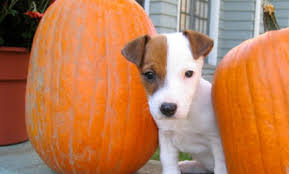 Pumpkin For Pets Diarrhea by Health Benefits Of Pumpkins For Dogs Care2 Healthy Living