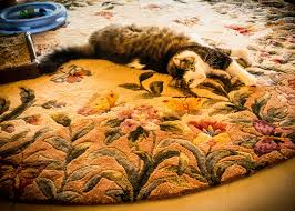 Siberian Cat Hair Shedding by And All That Fur How To Reduce The Shedding Of Your Maine Coon