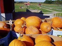 Apple Pumpkin Picking Syracuse Ny by Pumpkin Patch In Cazenovia New York Critz Farms Fall Harvest