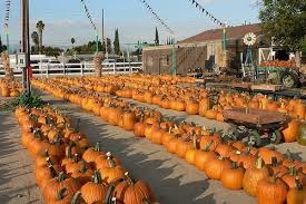 Tapia Brothers Pumpkin Patch by Pumpkin Patches Kids Will Love Near Valencia Ca Trekaroo