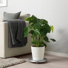 monstera pflanze fensterblatt 21 cm